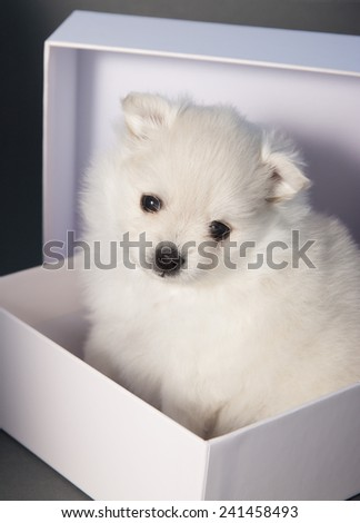 Very cute white fluffy puppy in a white box. - stock photo