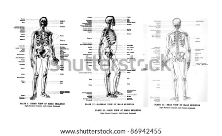3 Views of the human skeleton, full frontal , lateral and rear,  from out of print book, Human anatomy for art students  by Sir Alfred Downing Fripp, Ralph Thompson, Harry Dixon - 1911 - stock photo