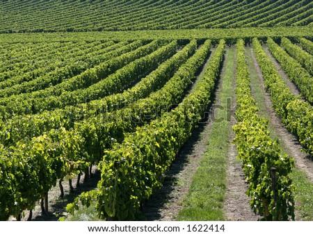 Vineyard in France #2 - stock photo