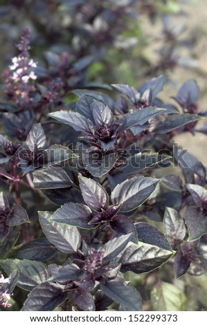 Violet basil in the garden - stock photo