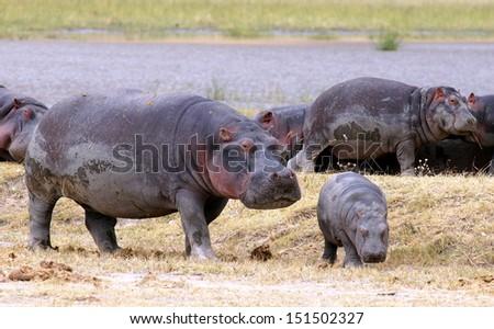 walking on the savannah in Tanzania, Africa - stock photo