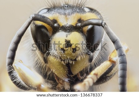 wasp Polistes (Gyrostoma) rothneyi gressitti portrait magnification. Full depth of view. - stock photo