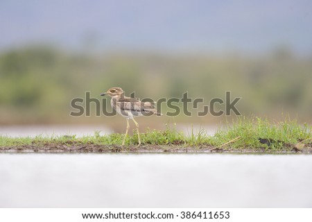 Water Thick-knee (Burhinus vermiculatis)  a crepuscular water bird found along water courses and around wetlands.  - stock photo