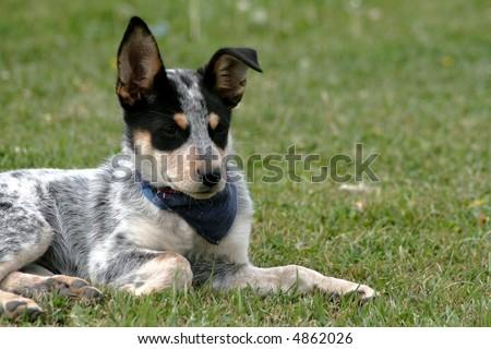 8 week old Blue Heeler puppy dog - stock photo