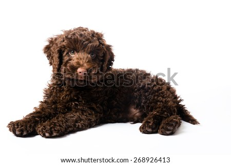 10 week old brown Labradoodle Mini Puppy dog - stock photo