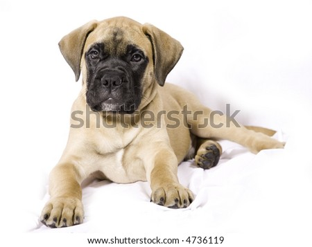 9 week old Bullmastiff puppy on soft white background - stock photo