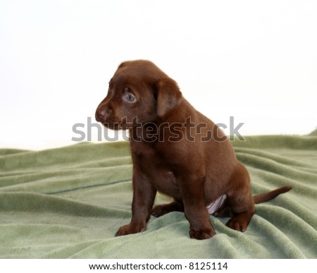 5 week old lab puppy on green blanket. - stock photo