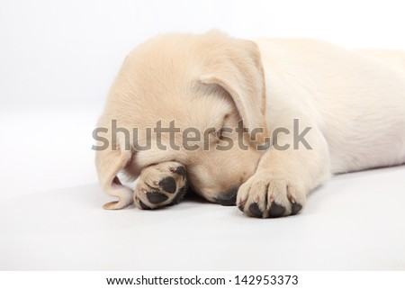8 week old labrador sleeping on a white background - stock photo