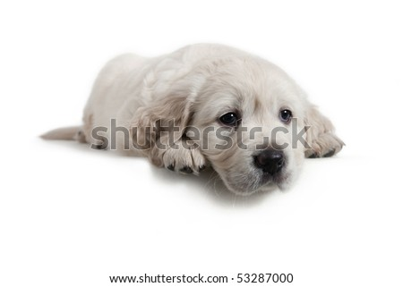 6 weeks old adorable Golden Retriever puppy is a little tired of being a model in the studio. He was returned to his mother and siblings shortly after - stock photo