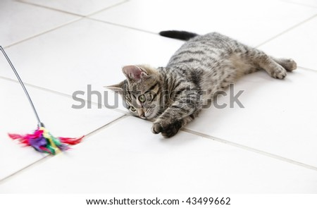 10 weeks old kitten playing with toy - stock photo