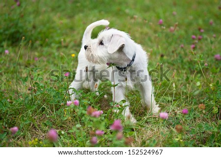 8-weeks-old miniature schnauzer puppy - stock photo