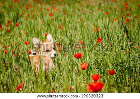 Welsh corgi pembroke puppy in the field of poppy flowers looking back - stock photo