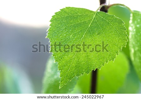 wet green leaf of a birch close up macro - stock photo