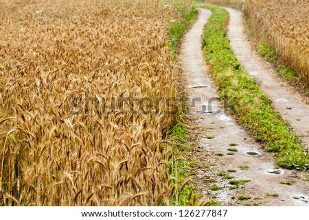 wheat field after rain. small depth of sharpness - stock photo