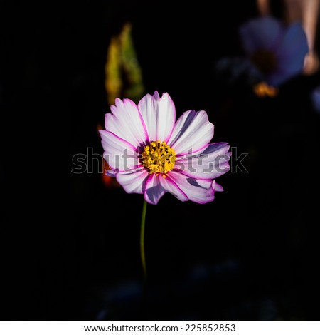 White and Magenta Colored Cosmos Flower on dark Background. Large Depth of Field (DOF). Macro.  - stock photo