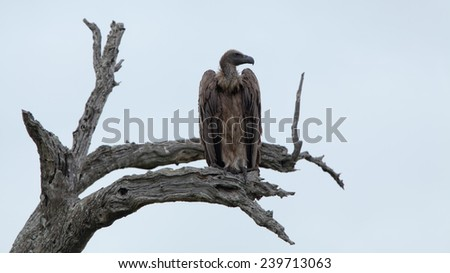 White-backed Vultures on bare tree trunk. South Africa, Kruger's National Park. - stock photo