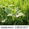 White Dead-nettle - stock photo