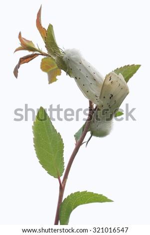 White Ermine (Spilosoma lubricipeda) - mating - stock photo