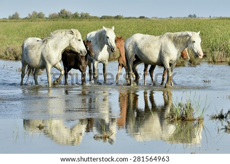 White horse with of Camargue running through water. Nature reserve in Parc Regional de Camargue - stock photo