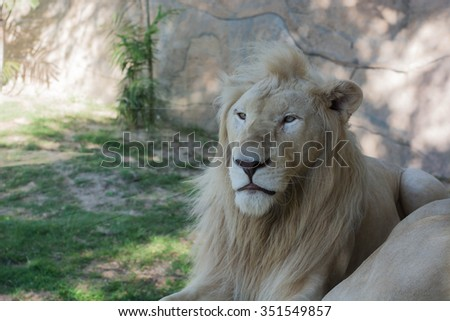 White Lion resting in a zoo . - stock photo