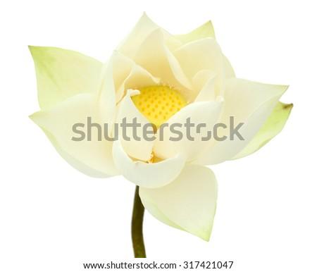 white Lotus flower isolated on white background - stock photo