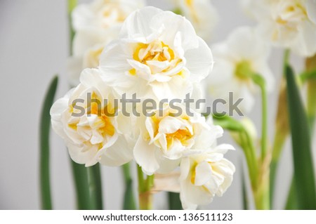 white narcissus - stock photo
