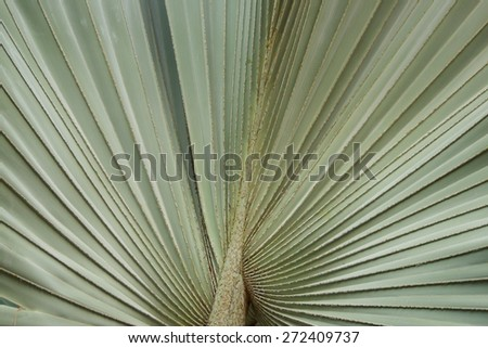 White palm  tree leaf as a background  , Bismarck palm, - stock photo