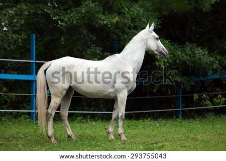 White polo pony in summer stud farm  - stock photo