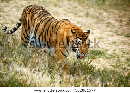 Wild bengal tiger walking and looking something in summer day - stock photo