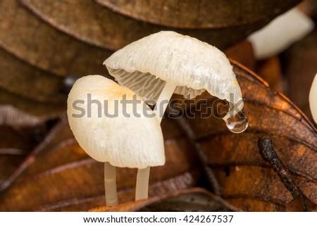 wild forest fungi , Small fungi , Close-up of Mushrooms - stock photo