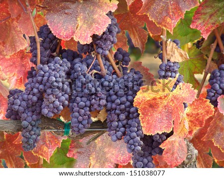 Wine Grapes on the Vine in Autumn Ready for Harvest                              - stock photo