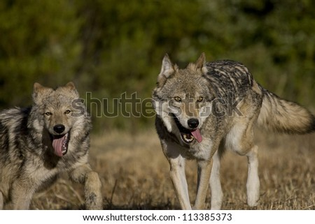 2 Wolves on the move - stock photo