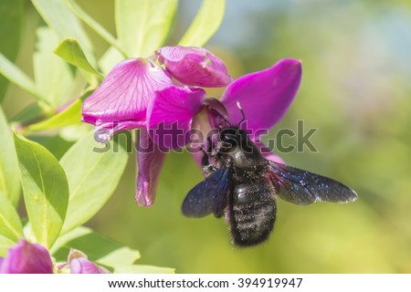 Xylocopa bumblebee pollinating a Polygala Myrtifolia - stock photo
