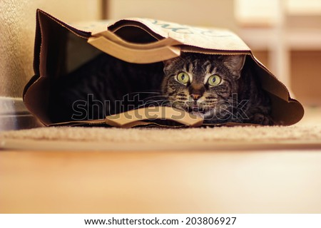 9 year old male tabby cat lying in a brown paper bag -- image taken indoors in Reno, Nevada, USA - stock photo