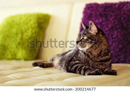 9 year old male tabby cat lying on a couch in his living room -- image taken indoors using natural light (image taken in Reno, Nevada, USA) - stock photo