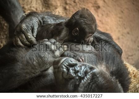 24-year-old Western lowland gorilla breastfeeding its six-week-old baby. - stock photo