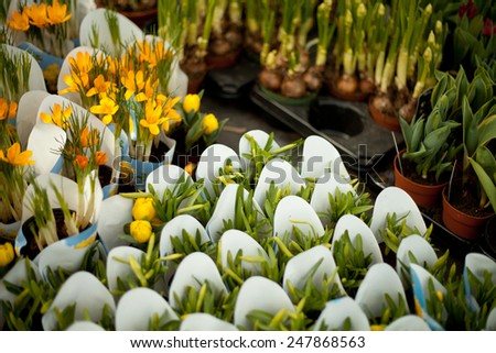 Yellow primroses, cowslips in a garden. Prepared for sale. Flowers growing in spring time. Easter, spring, holiday. NAture, macro perspective, nobody, background, florist, florists - stock photo