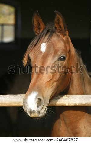 Young chestnut colored mare posing in the barn door - stock photo