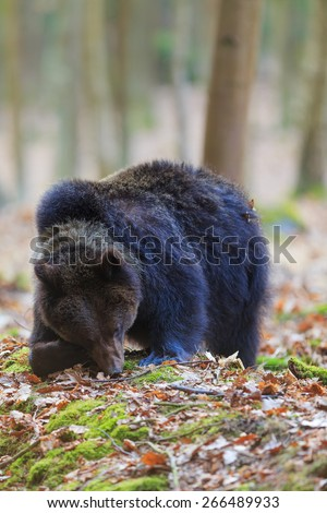 young female bear looking for some food - stock photo