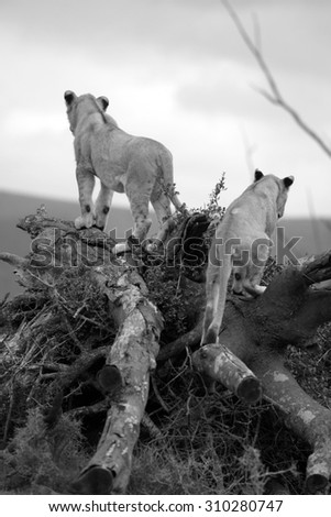 2 young lion cub looks over their territory while playing and sleeping on a broken tree.South Africa - stock photo