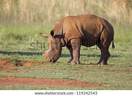 Young White Rhinocerus grazing on short green grass; Ceratotherium simum - stock photo