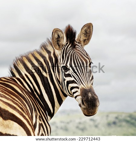 Zebra - close up of  an African Zebra turning to face the camera - stock photo