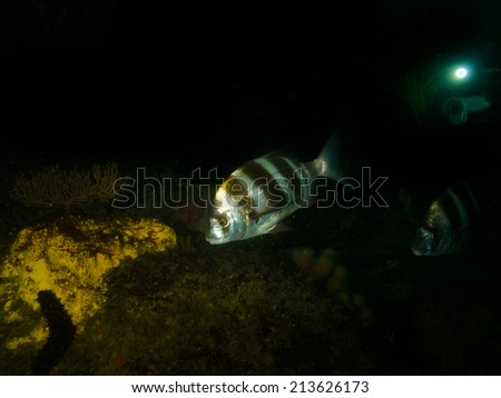 Zebra seabream fish - stock photo
