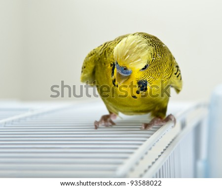 A angry looking budgie sitting on top of cadge - stock photo