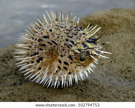 A angry, puffing blowfish on a beach rock. - stock photo