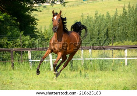 a arabian bay filly cantering in the field - stock photo