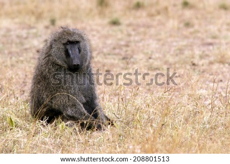 A baboon on the Maasai Mara National Reserve safari in southwestern Kenya. - stock photo