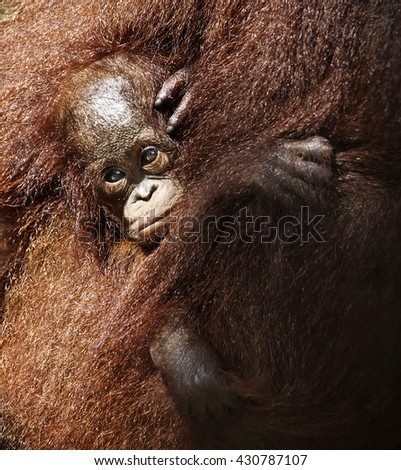 A Baby Bornean Orangutan with his mother - stock photo