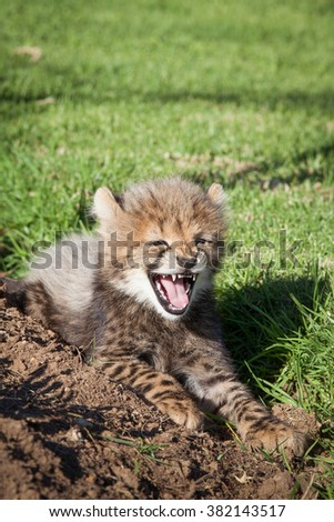 A baby cheetah resting on a reserve, letting out a big yawn - stock photo