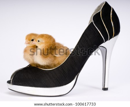 A baby chicken couple stands inside a pair or Women's pumps on white - stock photo
